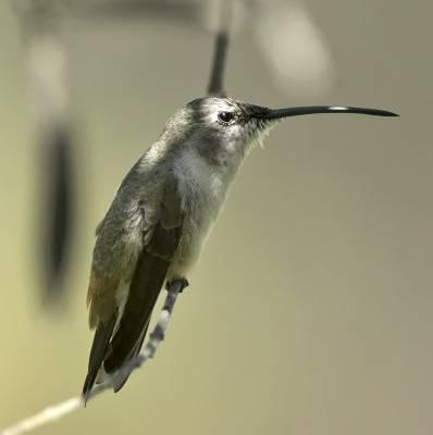 b2ap3_thumbnail_Oasis-Hummingbird-Arica-800-JJC.jpg
