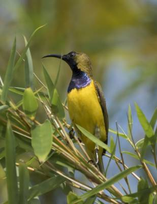 b2ap3_thumbnail_Olive-backed-Sunbird-male-Singapore-1000-160318-JJC.jpg