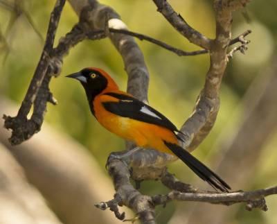 b2ap3_thumbnail_Orange-backed-Troupial-Santarem-800-JJC.jpg