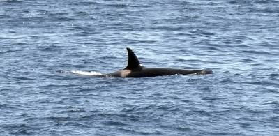 b2ap3_thumbnail_Orca-female-with-closed-saddle-off-Peru-800-JJC.jpg
