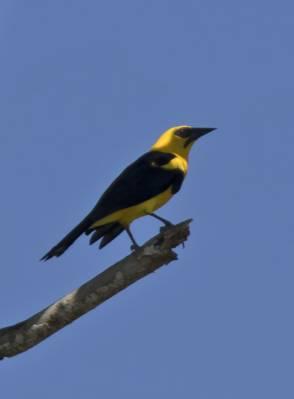 b2ap3_thumbnail_Oriole-Blackbird-Santarem-800-JJC.jpg