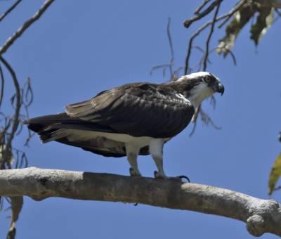 b2ap3_thumbnail_Osprey-Santarem-800-JJC.jpg