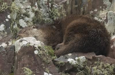 b2ap3_thumbnail_Otter-3-snoozing-Rudha-Reidh-nr-Gairloch-0401020-1280-JJC.jpg