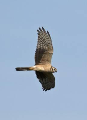 b2ap3_thumbnail_Pallid-Harrier-juv-Extremadura-030518-1000-JJC.jpg