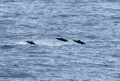 b2ap3_thumbnail_Pantropical-Spotted-Dolphins-off-Mexico-Feb-2019-JJC.jpg