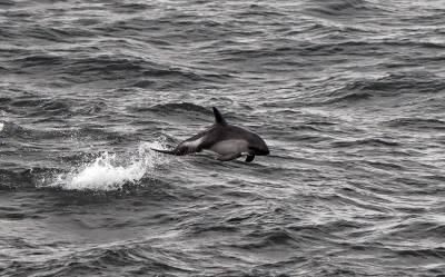 b2ap3_thumbnail_Peales-Dolphin-Nr-Chiloe-Island-JJC-800.jpg