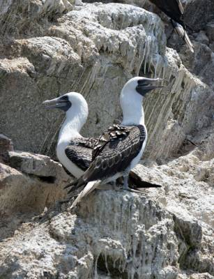 b2ap3_thumbnail_Peruvian-Bobies-and-guano-on-Ballestas-Islands-250217-JJC.jpg