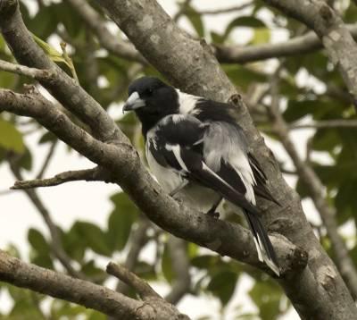 b2ap3_thumbnail_Pied-Butcherbird-Brisbane-800-020318-JJC.jpg