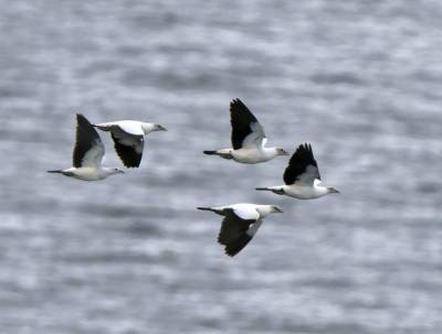 b2ap3_thumbnail_Pied-Imperial-Pigeons-off-Queensland-1000-JJC_20180323-150106_1.jpg