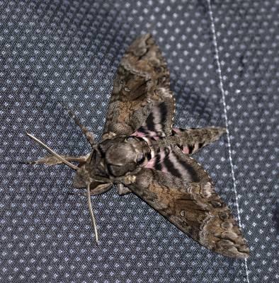 b2ap3_thumbnail_Pink-spotted-Hawkmoth-Agrius-cingulata-Braemar-800-JJC.jpg