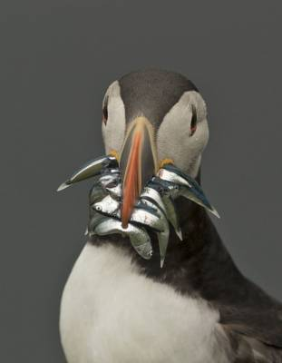 b2ap3_thumbnail_Puffin-with-sandeels-Sumburgh-Head-250619-JJC.jpg