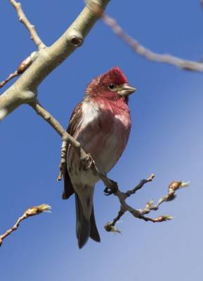 b2ap3_thumbnail_Purple-Finch-Adult-male-Gaspe-May-2019-1000-JJC.jpg