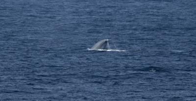 b2ap3_thumbnail_Pygmy-Blue-Whale-nr-Chiloe-Island-270220-1280-JJC.jpg