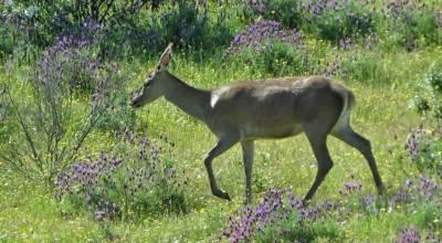 b2ap3_thumbnail_Red-Deer-hind-Monfrague-May-2018-Laura-Bimson.jpg