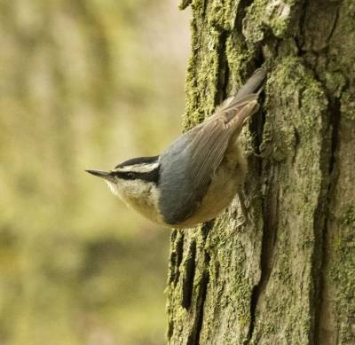 b2ap3_thumbnail_Red-breasted-Nuthatch-Mont-Royal-260519-1000-JJC.jpg