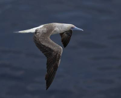 b2ap3_thumbnail_Red-footed-Booby-2-white-tailed-form-off-PNG-Boudicca-Jan-2020-JJC_20200405-100255_1.jpg