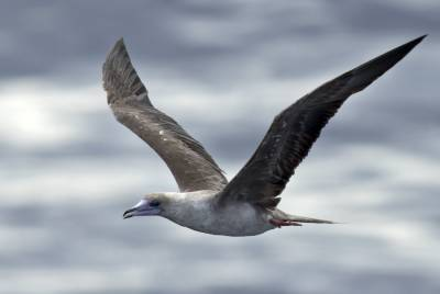 b2ap3_thumbnail_Red-footed-Booby-brown-form-Savu-Sea-110918-800-JJC.jpg
