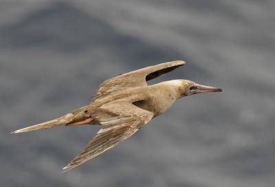 b2ap3_thumbnail_Red-footed-Booby-brown-phase-off-Guyana-JJC-800.jpg