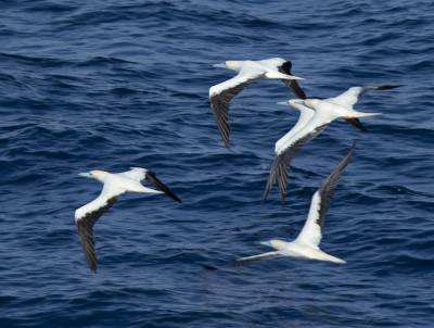 b2ap3_thumbnail_Red-footed-Booby-group-white-phase-off-PNG-Jan-2020-1280-JJC.jpg