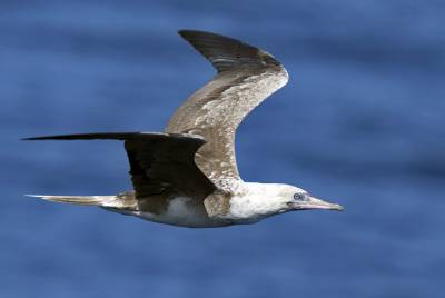 b2ap3_thumbnail_Red-footed-Booby-off-Brisbane-030318-1000-JJC.jpg