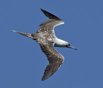 b2ap3_thumbnail_Red-footed-Booby-unusual-colour-form-off-El-Salvador-800-090219-JJC.jpg