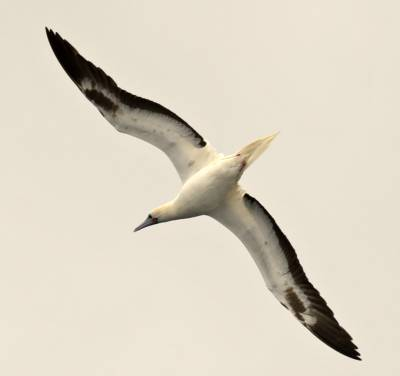 b2ap3_thumbnail_Red-footed-Booby-white-phase-off-Guyana-800-JJC.jpg
