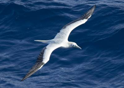 b2ap3_thumbnail_Red-footed-Booby-white-phase-off-PNG-Jan-2020-1280-JJC.jpg