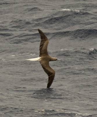 b2ap3_thumbnail_Red-footed-Booby-white-tailed-form-off-Guyana-800-JJC.jpg