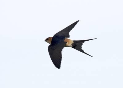 b2ap3_thumbnail_Red-rumped-Swallow-Extremadura-May-2018-1000-JJC.jpg