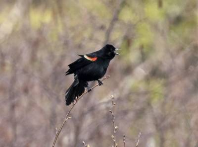b2ap3_thumbnail_Red-winged-Blackbird-1280-Gaspe-May2019.jpg