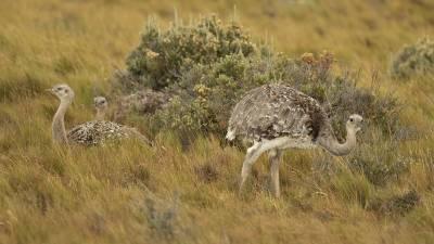 b2ap3_thumbnail_Rheas-Chile-Patagonia-230220-1280-JJC_20200304-171047_1.jpg