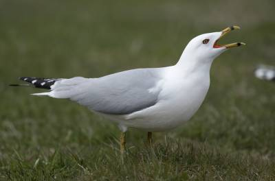b2ap3_thumbnail_Ring-billed-Gull-Mundy-Pond-St.-Johns-Newfoundland-May-2019.jpg