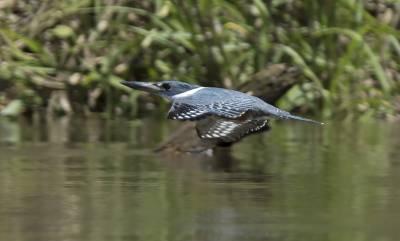 b2ap3_thumbnail_Ringed-Kingfisher-Santarem-800-JJC.jpg