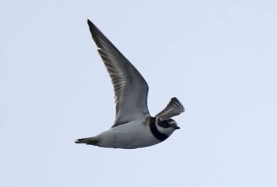 b2ap3_thumbnail_Ringed-Plover-after-Shetland.jpg