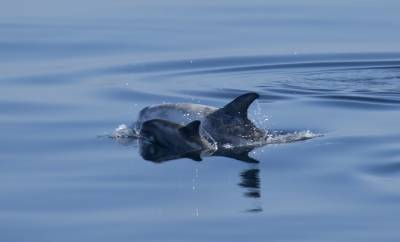 b2ap3_thumbnail_Rissos-dolphin-and-Calf-280718-the-Minch-1000-JJC.jpg