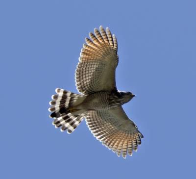 b2ap3_thumbnail_Roadside-Hawk-2-800-JJC.jpg