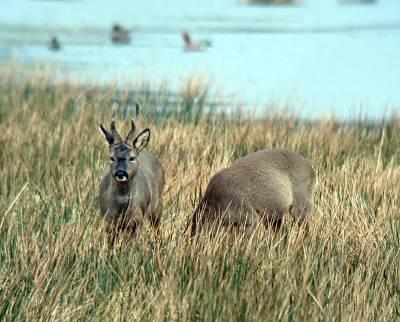 b2ap3_thumbnail_Roe-Deer-800-Mersehead-290216.jpg