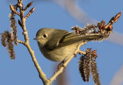 b2ap3_thumbnail_Ruby-crowned-Kinglet-female-Gaspe-May-2019-1280-JJC.jpg