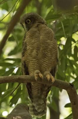 b2ap3_thumbnail_Rufous-Owl-Darwin-090318-JJC-1000.jpg