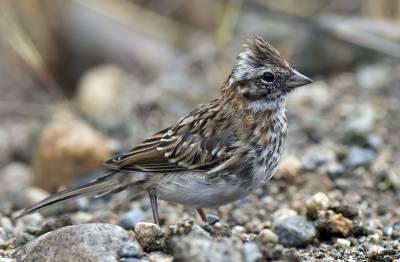 b2ap3_thumbnail_Rufous-collared-Sparrow---Chacabuco-1280.jpg