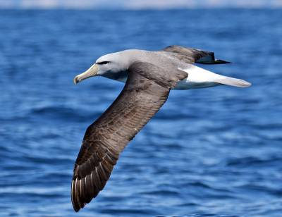 b2ap3_thumbnail_Salvins-Albatross-Kaikoura-Dec-2015-800-JJC.jpg