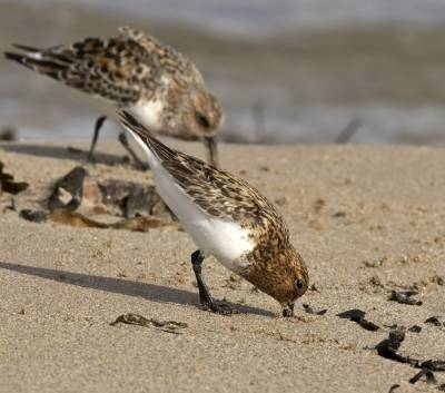 b2ap3_thumbnail_Sanderlings-summer-plumage-1-Low-Newton-1000-110617-JJC.jpg