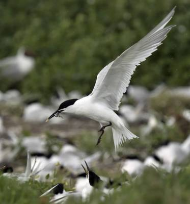 b2ap3_thumbnail_Sandwich-Tern-with-fish-at-Colony-Farne-1000-110617-JJC.jpg