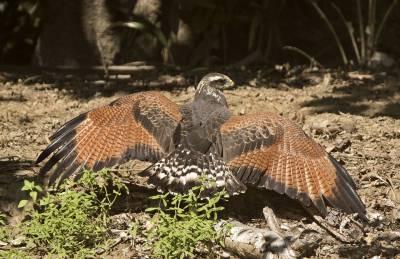 b2ap3_thumbnail_Savanna-Hawk-Mantling-near-Santarem-JJC.jpg
