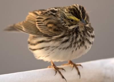 b2ap3_thumbnail_Savannah-Sparrow-Saga-Sapphire-off-Newfoundland-May-2019-1000-JJC.jpg