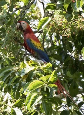 b2ap3_thumbnail_Scarlet-Macaw-Carara-Reserve-08019-800-JJC.jpg
