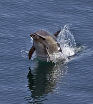 b2ap3_thumbnail_Short-beaked-Common-Dolphin-The-Minch-280718-1000-JJC.jpg