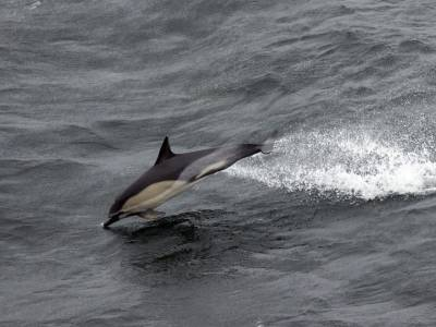 b2ap3_thumbnail_Short-beaked-Common-Dolphin-off-Lands-End.jpg