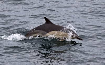 b2ap3_thumbnail_Short-beaked-Common-Dolphin-off-Tiumpan-Head-240619-JJC.jpg