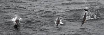 b2ap3_thumbnail_Short-beaked-Common-Dolphins-off-Lands-End.jpg